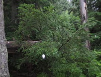 Pac Yew Tree