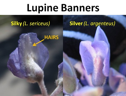 Lupine Banners
