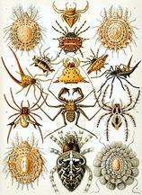 250px-Haeckel_Arachnida