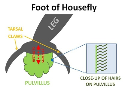 Foot Diagram cut