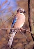 Eurasian Jay1