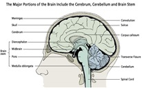 brain_portions_illus205