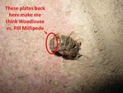 Woodlouse plates1