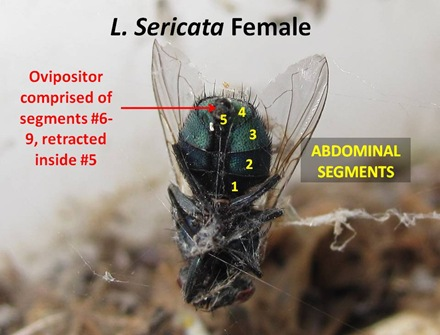 GBF Female Abdomen1