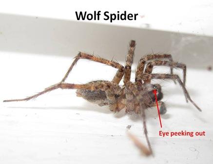 Wolf Spider1