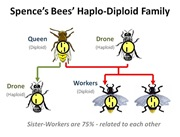 Haplo Diploid Family[4]