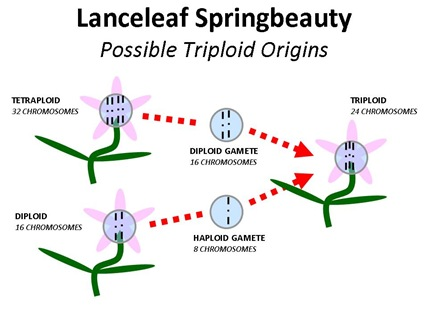 Triploid LLSB Origin