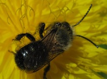 Osmia Closeup
