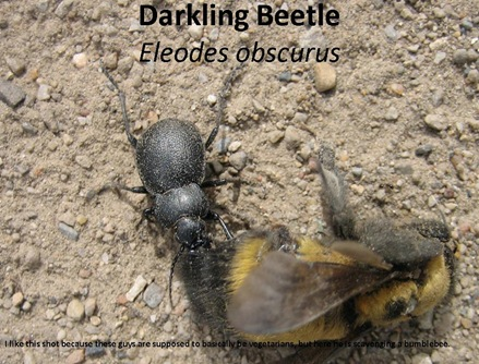 Darkling Bumblebee