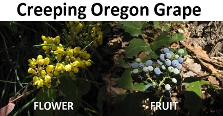 Oregon Grape compare