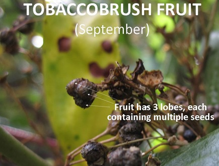 TBrush Fruit