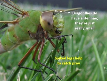 GD spikes antennae