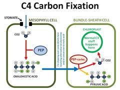 C4Fixation4