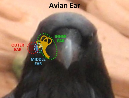 Bird Ear1