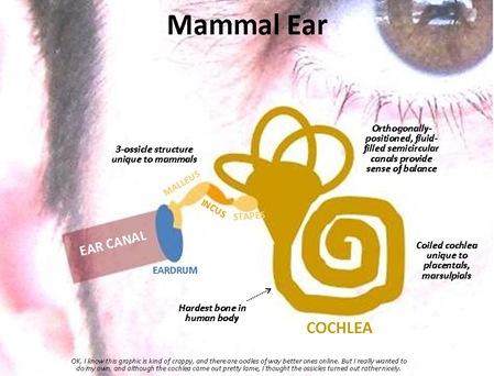 Mammal Ear2