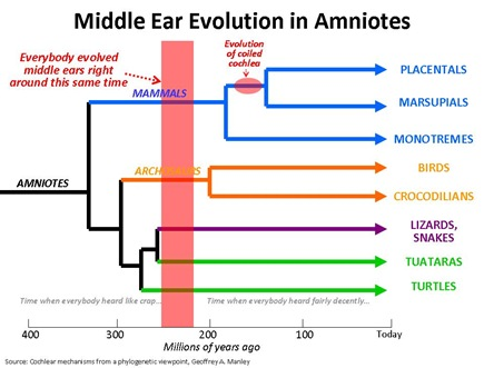 Middle Ear evo