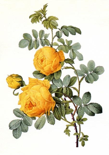 Rosa-Jaune-de-Soufre