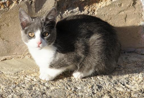 Castelo Branco - Gato natural de Castelo Branco