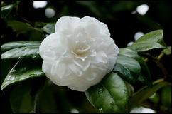 Buçaco - jardim do palácio - camélia branca