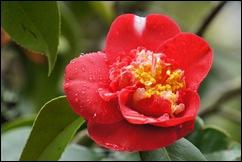 Buçaco - jardim do palácio - camélia vermelha 2