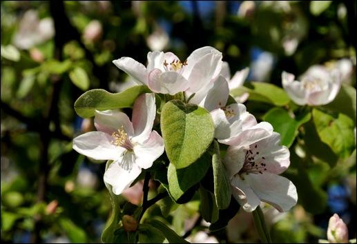 flor - marmelo 2