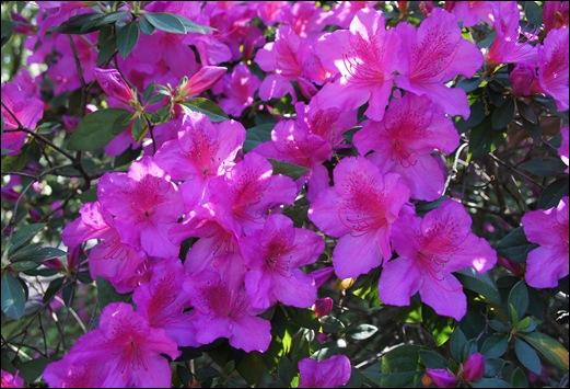 jardim serralves - porto - azaléias 3