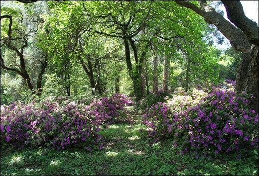 jardim serralves - porto - azaléias 9