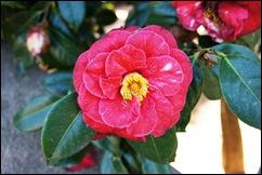 jardim serralves - flor camélia vermelha 2
