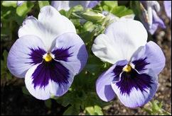 1.Trancoso -  amor perfeito lilas