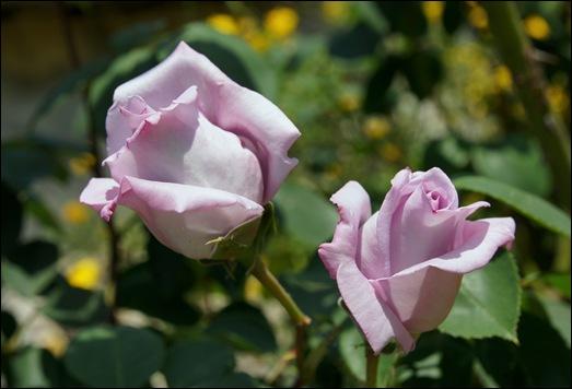 botões rosa lilás  2 - Gloria Ishizaka