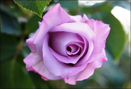 botão rosa lilás - Gloria Ishizaka