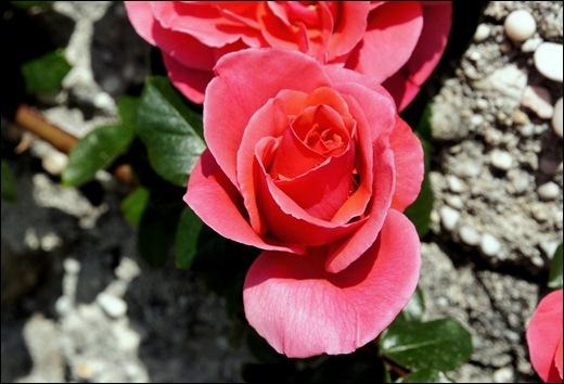 rosa trepadeira vermelha alaranjada 2 - Gloria Ishizaka