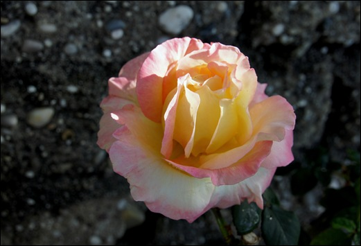 rosa alaranjada - Gloria Ishizaka