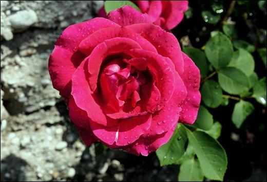 rosa rosa 3 - Gloria Ishizaka