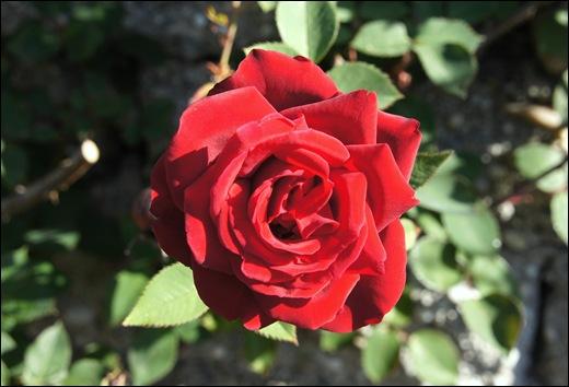 rosa vermelha 1 - Gloria Ishizaka