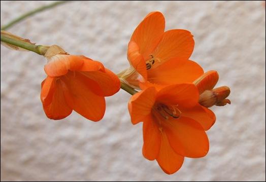frésia laranja - Gloria Ishizaka