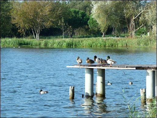 Mira - Lagoa - patos