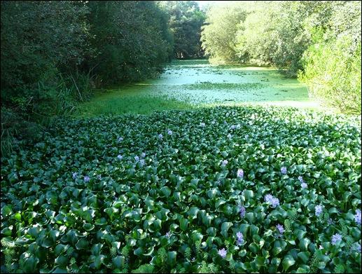 Mira - Lagoa - aguapé