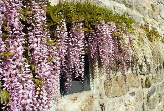 Linhares - flores - glicínias rosa e branca