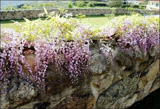 Linhares - inatel - muro com glicínias 3