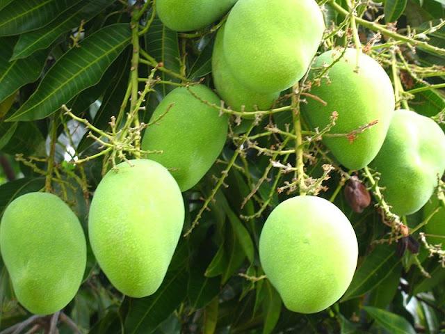 http://lh6.ggpht.com/_6Vl-BEufuTk/THItzE_HEEI/AAAAAAAAALg/hisIOYmFFGw/s1600/1214224140967_Mango_tree_.jpg