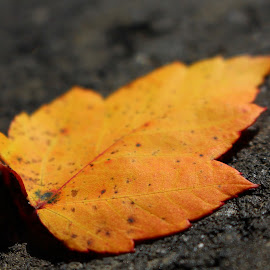Orange Leaf by Ashley McCuen - Nature Up Close Leaves & Grasses ( orange, macro, solo, park, nature, one, leaf,  )
