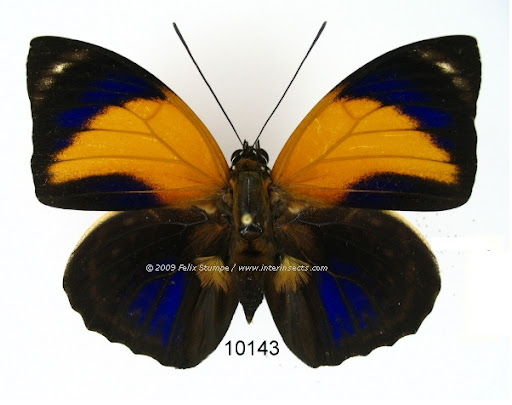 Agrias pericles mauensis FASSL, 1921, mâle. Photo : Interinsects Felix Stumpe. http://www.interinsects.de/---new-offers-lepidoptera/6345659ce01069e1b/index.html