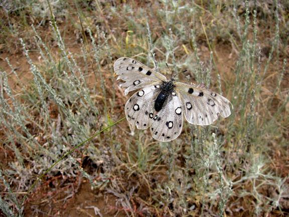 Parnassius apollonius narynus FRUHSTORFER, 1908 (femelle très défraichie). Tian Shan, Baybiche Tau, Beurolly road (2250 m), Kyrgyzistan, juillet 2009. Photo : J. Ouvaroff