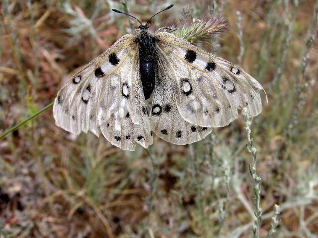 Parnassius apollonius narynus FRUHSTORFER, 1908 (mâle très défraichi). Tian Shan, Baybiche Tau, Beurolly road (2250 m), Kyrgyzistan, juillet 2009. Photo : J. Ouvaroff