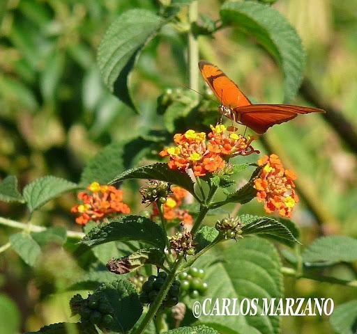 Dryas julia alcionea. Fotos tomadas en Reserva de Vicente Lopez sobre Lantana camara, 2 mayo 2009, Carlos Marzano