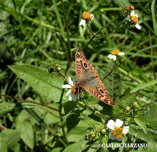 Junonia genoveva hilaris. Foto tomada en Villa Amancay, 13 abril 2006. Carlos Marzano