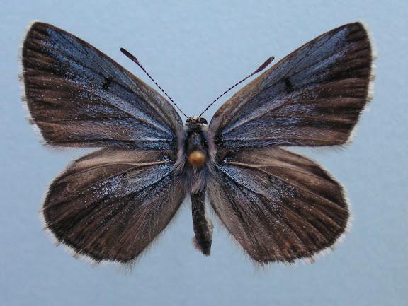 "Alpherakya devanica vanjica ssp. nova. Holotype mâle, recto. Tadjikistan, nord-ouest Badakhshan, chaîne de Vanj, Gishkun gorge, 1800 m, (39° 04? 590"" N, 70° 48? 740"" E), 16.VII.2008. Photo : J.-F. Charmeux"