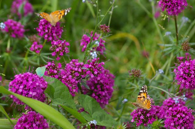 Vanessa cardui LINNAEUS, 1758, et Callophrys rubi LINNAEUS, 1758. Les Hautes-Lisières (28), 29 mai 2009. Photo : J.-M. Gayman