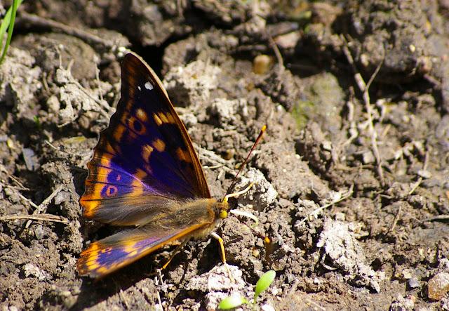 Apatura ilia DENIS & SCHIFFERMÜLLER, 1775, mâle. Hautes-Lisières, 27 juin 2009. Photo : J.-M. Gayman